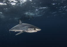 Short Fin Mako Stock Photos