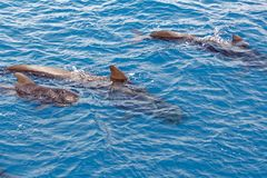 Short finned pilot whales and baby calf off coast of Tenerife, Spain. The south coast of the Island of Tenerife is home to a sizeable colony of short-finned royalty free stock photos