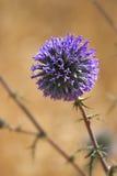 Short flowering. Stock Images