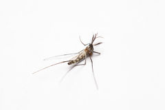 Short focus of Dead mosquito lie-down on white background. Stock Images