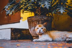 Short-fur Orange and White Cat Lies Next to Beige Plant Pot With Green Leaf Plant Stock Photos