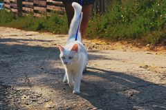 Short-fur White Cat Walking With Person on Road stock photo