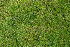 Short green lawn grass from above. Short green lawn grass texture directly from above Stock Images