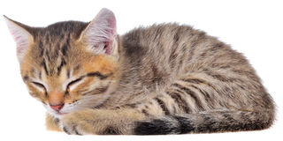 Short Hair brindle kitten sleep Stock Photo