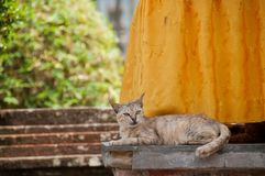 Short hair brown cute little sleeping cat looking up curiously. In a temple Stock Image