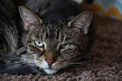 Short Hair Cat. Inside short hair cat looking for some attention and sitting on the rug Royalty Free Stock Photo