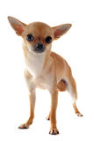 Short hair chihuahua Royalty Free Stock Images