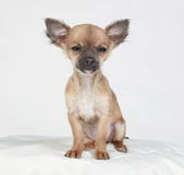 Short hair Chihuahua with a dreamy look. Dozing short-haired Chihuahua sitting on a white pillow Royalty Free Stock Photo