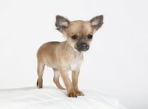 Short hair Chihuahua standing erect and observing. Short hair chihuahua standing tall on a white pillow Royalty Free Stock Images