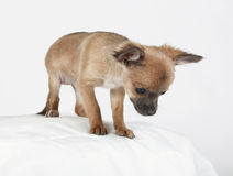 Short hair Chihuahua standing and looking down. Short hair Chihuahua standing cautiously on a white pillow looking down Royalty Free Stock Images