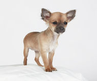 Short hair Chihuahua standing tall. Short-haired Chihuahua standing tall on a pillow with a timid expression Royalty Free Stock Photography