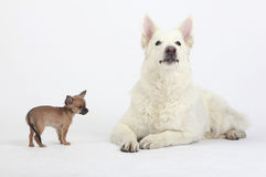 Short hair Chihuahua and white shepherd. Short hair Chihuahua standing next to a white German Shepherd. The shepherd is looking up attentively while the Stock Image