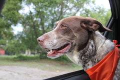 Short hair pointer. Brown and white german short hair pointer dog riding in car Stock Photo