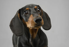 Short hair puppy dachshund portrait in gray background. Short hair puppy dachshund portrait in a gray background Royalty Free Stock Photos
