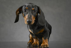 Short hair puppy dachshund portrait in a gray background. Short hair puppy dachshund portrait in gray background Royalty Free Stock Photo