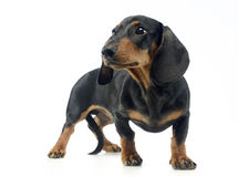Short hair puppy dachshund staying in white background. Short hair puppy dachshund staying in a white background Stock Photography