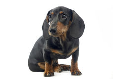 Short hair puppy dachshund staying in a white background Royalty Free Stock Photography