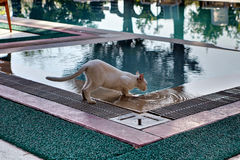 Short hair pussy thin pink lapping water from swimming pool. Royalty Free Stock Image