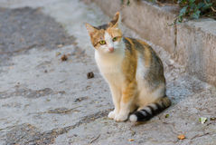 Short-hair three-colored cat sitting on the street Royalty Free Stock Photos