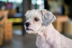 Short hair white shih-Tzu dog gaze at something. With blurred background Royalty Free Stock Images