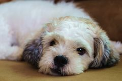 Short hair white Shih tzu dog stock photos