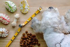Short hair white shih-Tzu dog with toys and food. Short hair white shih-Tzu dog with toys, collar and food on wooden floor Royalty Free Stock Photography