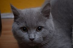 Short-haired British gray cat. Look to you Royalty Free Stock Photography