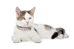 Short-haired cat Royalty Free Stock Image