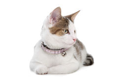 Short-haired cat Stock Photo