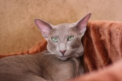 Short-Haired Cat With Green Eyese Lie In Couch In Warm Room. Pet. Portrait Of Gray Short-Haired Cat With Green Eyese Lie In Her Soft Couch In Cozy Warm Room Royalty Free Stock Photo