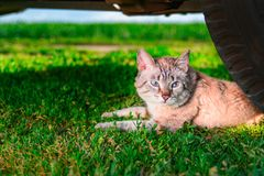 Short-haired cat lies in green grass. Portrait cute cat with blue eyes lies next to the car wheel. Outdoor shot at sunny day. Copy space Royalty Free Stock Image