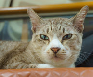 Short-haired cat staring directly Royalty Free Stock Photo