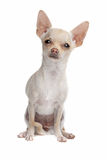 Short haired chihuahua Royalty Free Stock Photography