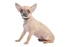 Short haired chihuahua Stock Photography