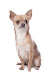Short haired chihuahua Stock Images