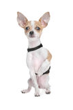Short haired chihuahua Stock Photos