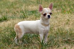Short-Haired Chihuahua  Royalty Free Stock Image