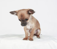 Short-haired Chihuahua looking down. Shy short hair Chihuahua looking down sitting on a white pillow Stock Images