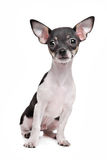 Short haired chihuahua puppy Royalty Free Stock Image