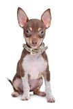 Short haired chihuahua puppy Stock Photo