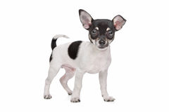 Short haired chihuahua puppy Stock Photos
