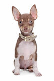 Short haired chihuahua puppy Royalty Free Stock Photo
