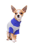 Short haired chihuahua Royalty Free Stock Photos
