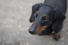 A short haired dachshund sausage dog. stock photography