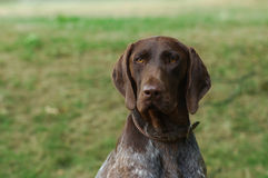 Short haired german pointer Stock Photo