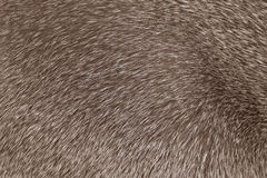Short-haired gray cat fur structure Royalty Free Stock Photos