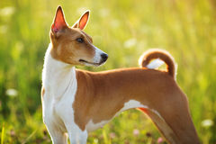Short haired hunting dog stares somewhere Royalty Free Stock Image