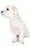 Short haired maltese dog Royalty Free Stock Images