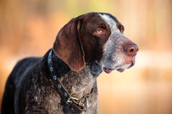 Short haired pointer breed dog portrait Stock Image