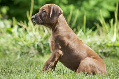 Short-haired  Rhodesian Ridge-back puppy dog Royalty Free Stock Photography